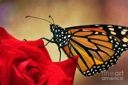 Monarch Butterfly on a Rose by Susan Isakson