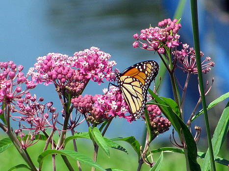 Monarch Butterfly On Pink Flowers by Corinna Garza