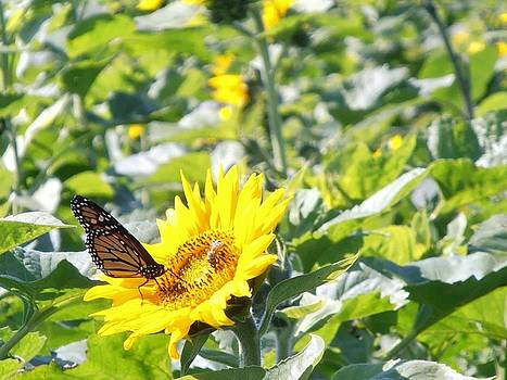 Kimberly Perry - Monarch Butterfly on Sunflower