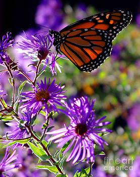 Monarch in Fall by Valerie Hesslink