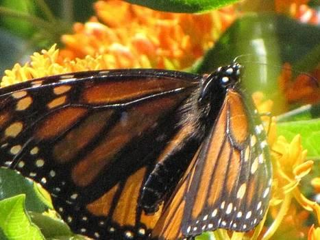 Monarch in Rest by Harry Wojahn