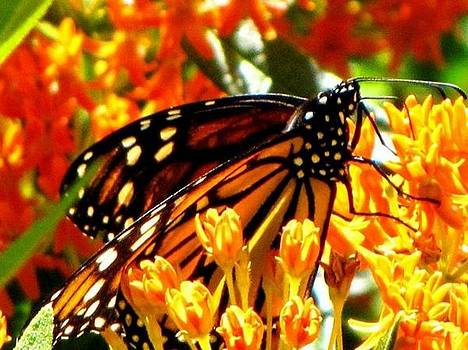 Monarch Madness by Harry Wojahn
