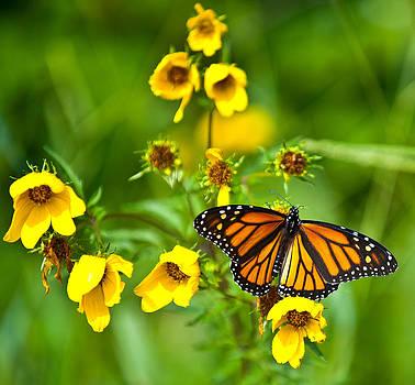Monarch moment by Rob Morgan