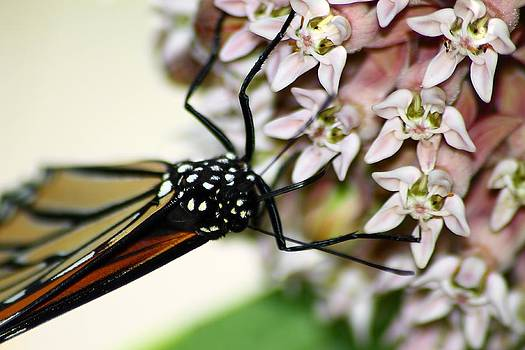 Scott Hovind - Monarch on Milkweed 3