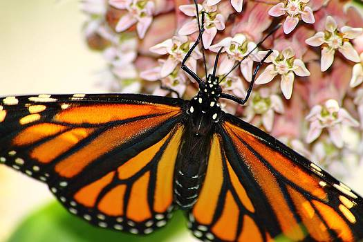 Scott Hovind - Monarch on Milkweed 5