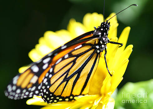 Monarch Suzie by Debra Straub