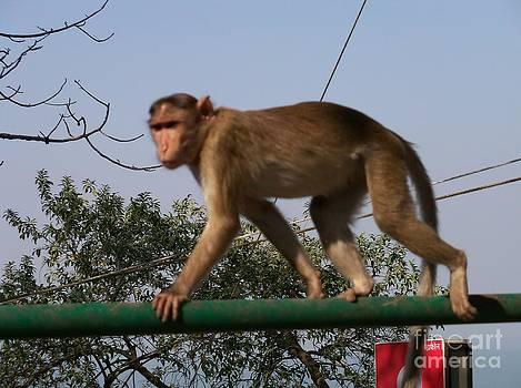Monkey on bar by Hemangi Koticha