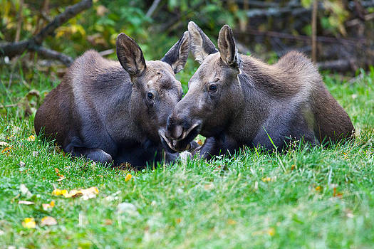 Moose Calves  by Chris Heitstuman