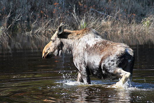 Moose crossing pond by Carolyn Reinhart