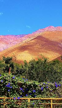 Morning Glories in the Elqui Valley by Monica  Vega