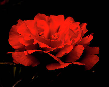 Moss Rose Silhouette by Michael Putnam