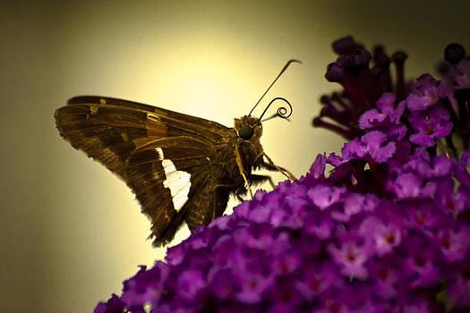 Moth on a Butterfly Bush by Steve Buckenberger