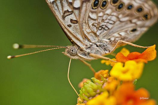 Lisa  Spencer - Moth on Flower Clusters