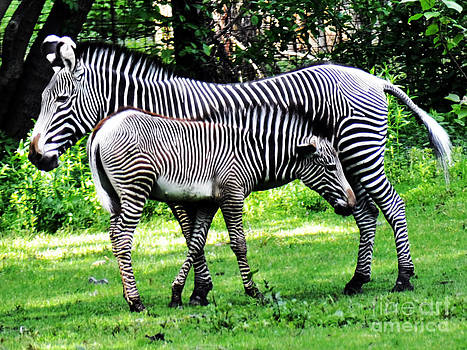 Anne Ferguson - Mother and Child Zebras