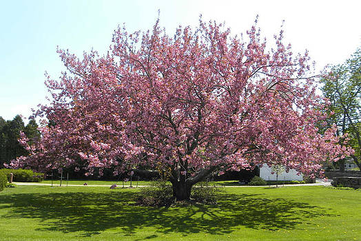 Mother Cherry Tree by Laurel Porter-Gaylord