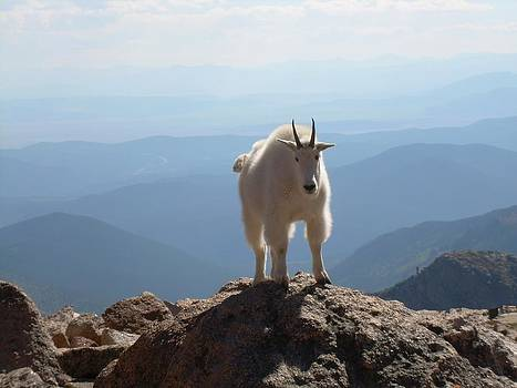 Mount Evans Goat by Bill Kennedy