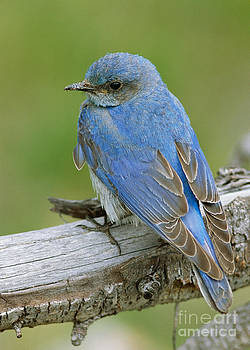 Mountain Bluebird by Doug Herr