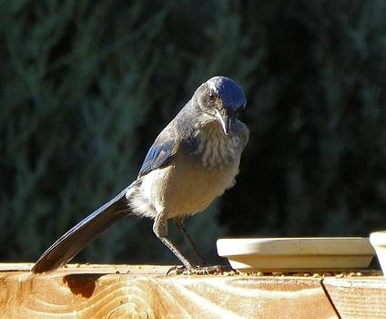 Mountain Bluebird by Vicky Mowrer
