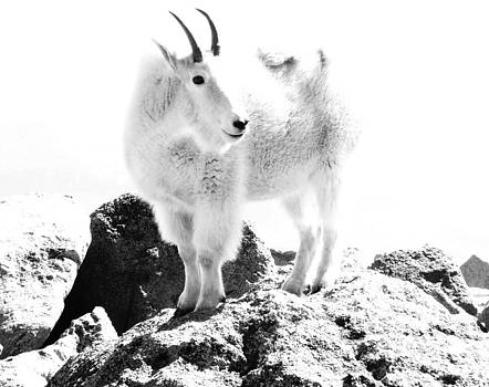 Mountain Goat White Out by Bill Kennedy
