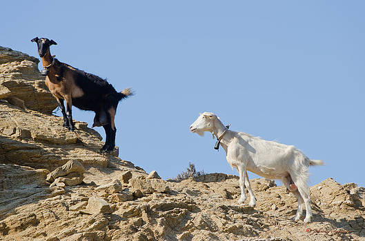 Mountain Goats by Johnny Sandaire