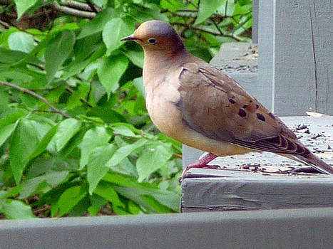 Mourning Dove 715b by Robert Amman
