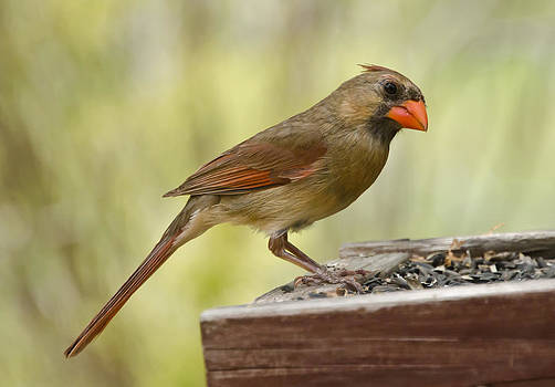 Lisa Moore - Mrs. Cardinal