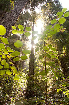 Muir Woods Magic by Rossi Love