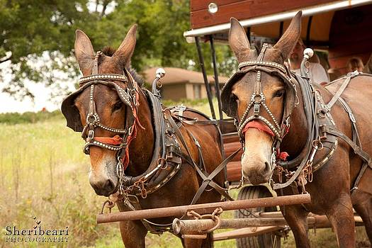 Mule Team by Sheri Bartay