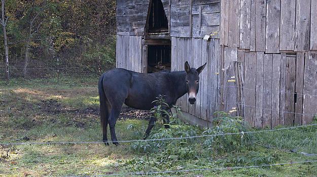Mule by Tony Hammer