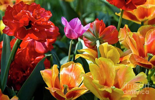 Tim Mulina - Multi-colored Tulips in Bloom