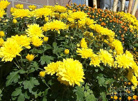 Mums for sale by Donna Parlow