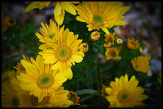 Mums in Bloom by Kelly Rader
