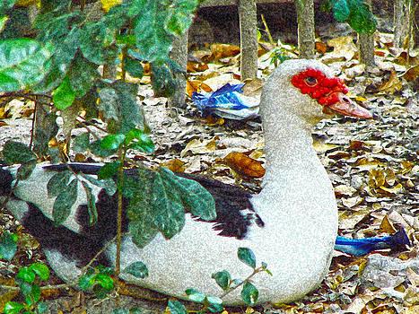 Roy Foos - Muscovy Duck