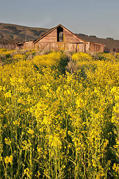 Mustard in Bloom by Kent Sorensen