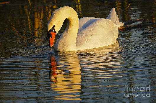 Mute swan and sunset... by Christine Kapler