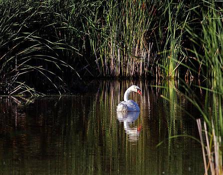 Mute Swan by Jim Nelson