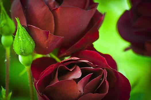 My Beloved's Roses by Steve Buckenberger