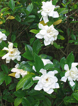 My Gardenias by Marlene Robbins