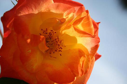 My Yellow Orange Rose by Connie Koehler
