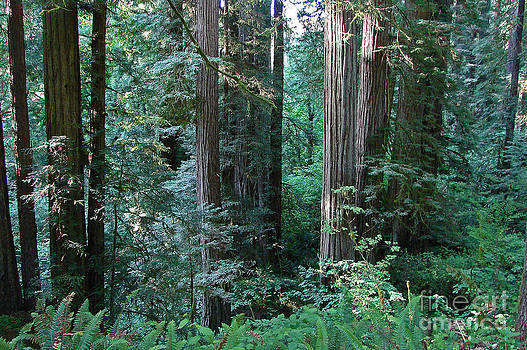 Mystic Redwoods 3 by Suze Taylor