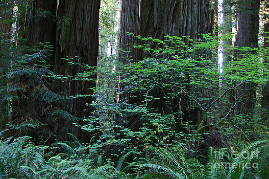 Mystic Redwoods 4 by Suze Taylor