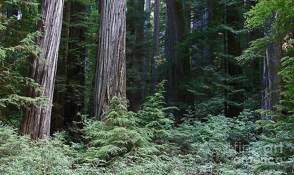 Mystic Redwoods 5 by  Suze Taylor