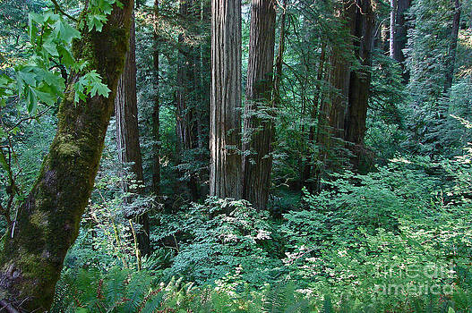 Mystic Redwoods1 by Suze Taylor