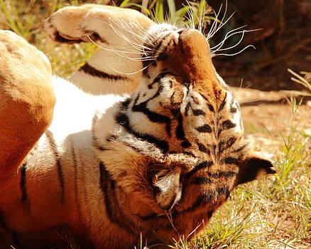Naked Tiger Sunbathing by Don Krajewski