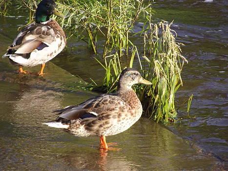 Nature Ducks by Josh Houle