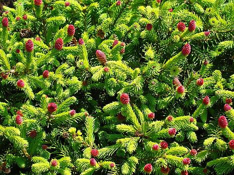 Baslee Troutman - Nature Photography Art Prints Conifer Pines