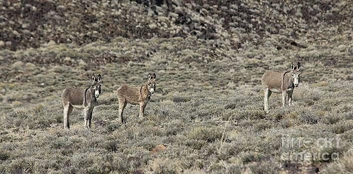 Nevada Burros by Lori Bristow