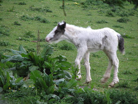 Joseph Doyle - New-born baby foal in the wild Irish countryside