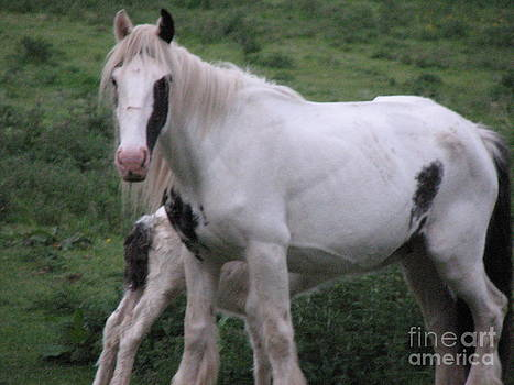 Joseph Doyle - New-born baby foal suckling mother in the wild Irish countryside