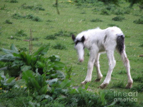 Joseph Doyle - New-born foal in the wild Irish countryside